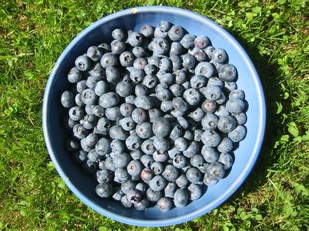 blueberry harvest first pick june 21 2013